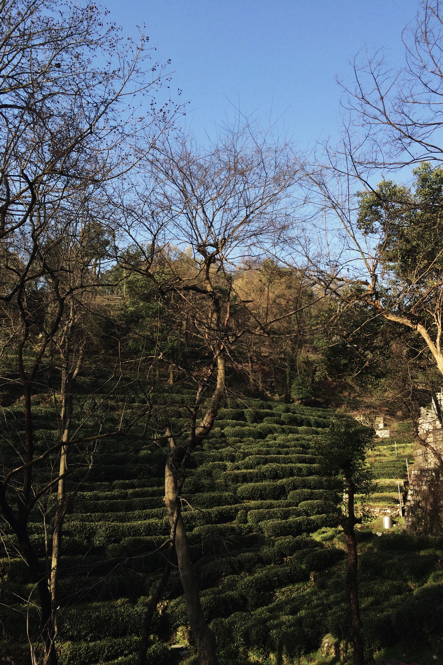 Longjing-Tea-Plantation